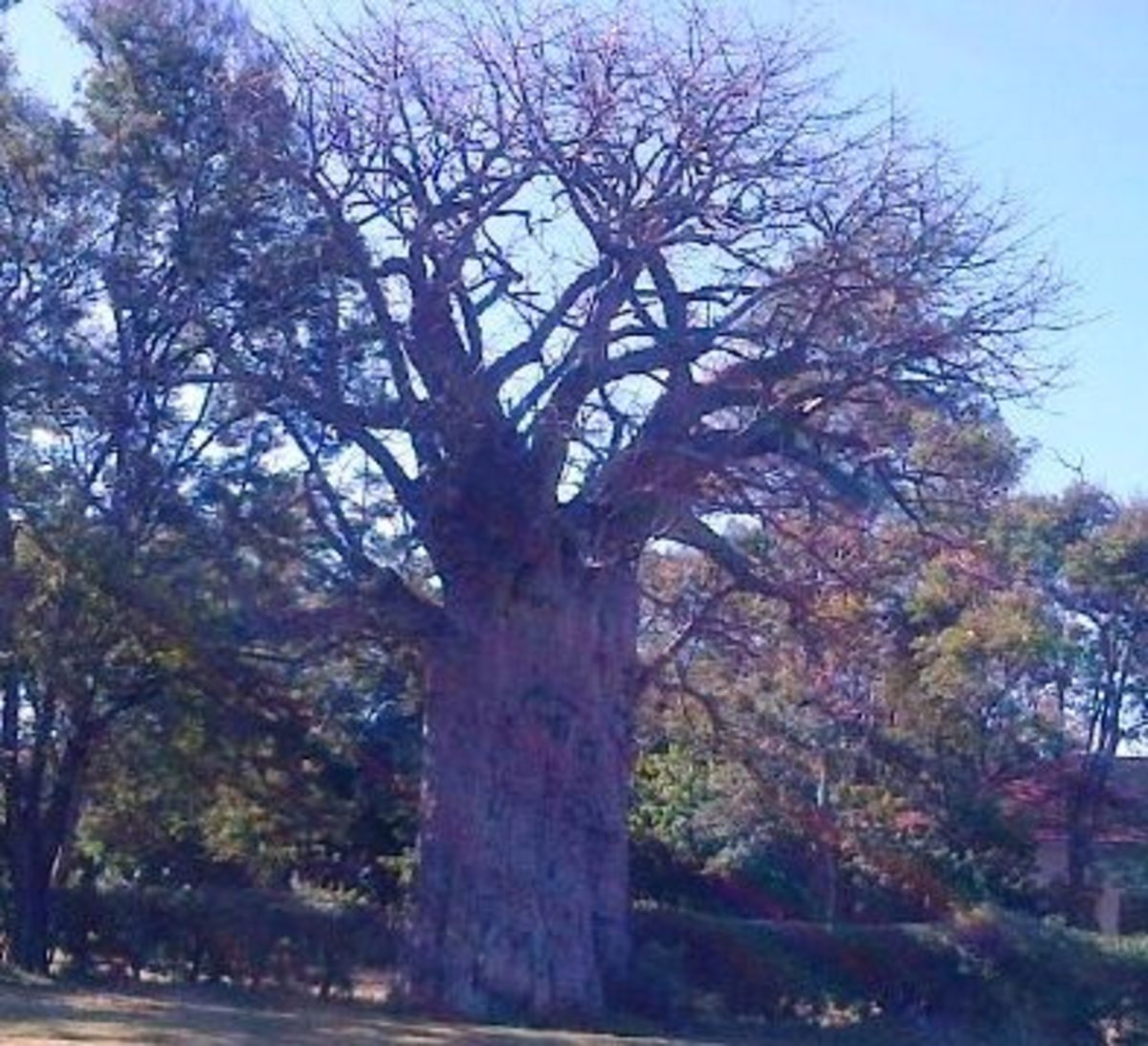 Baobab tree in Mwadui, Tanzania © Sonja Jordaan