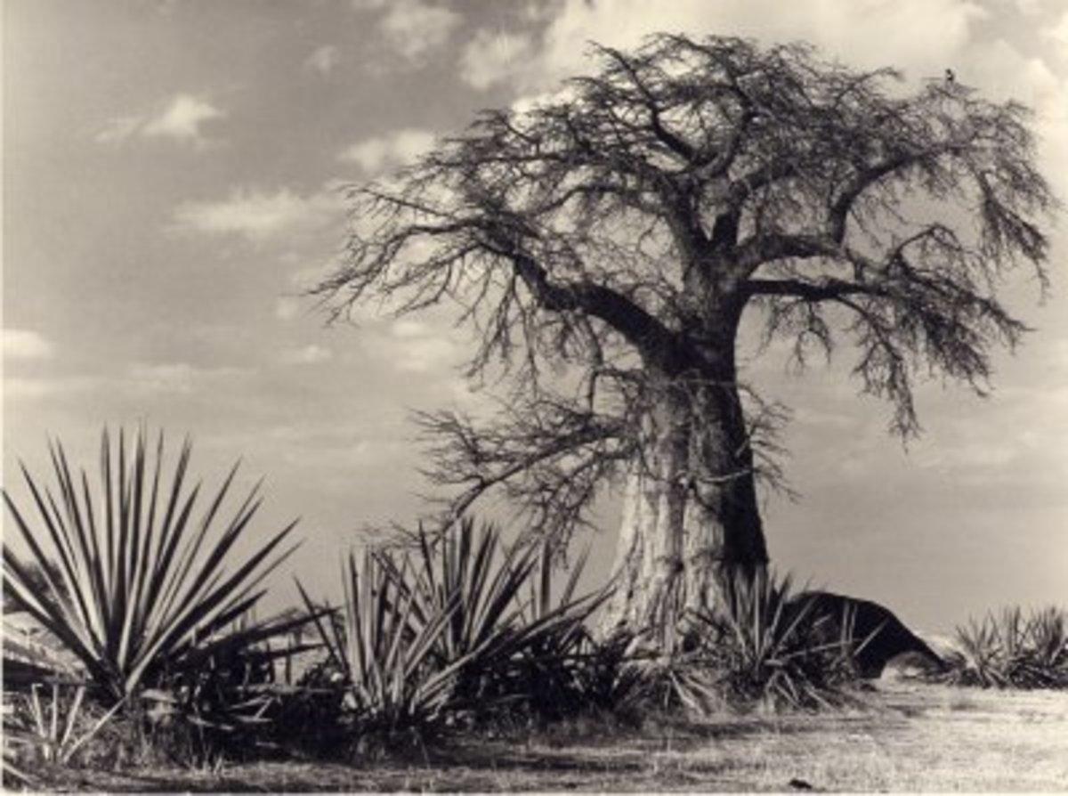 The Baobab tree photographed by Michael G Croft @ www.mwadui.com/