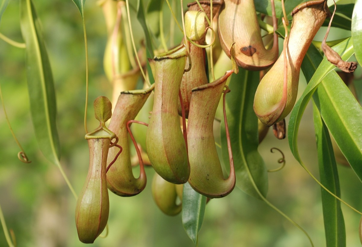 Carnivorous Plants: Why Do They Exist?