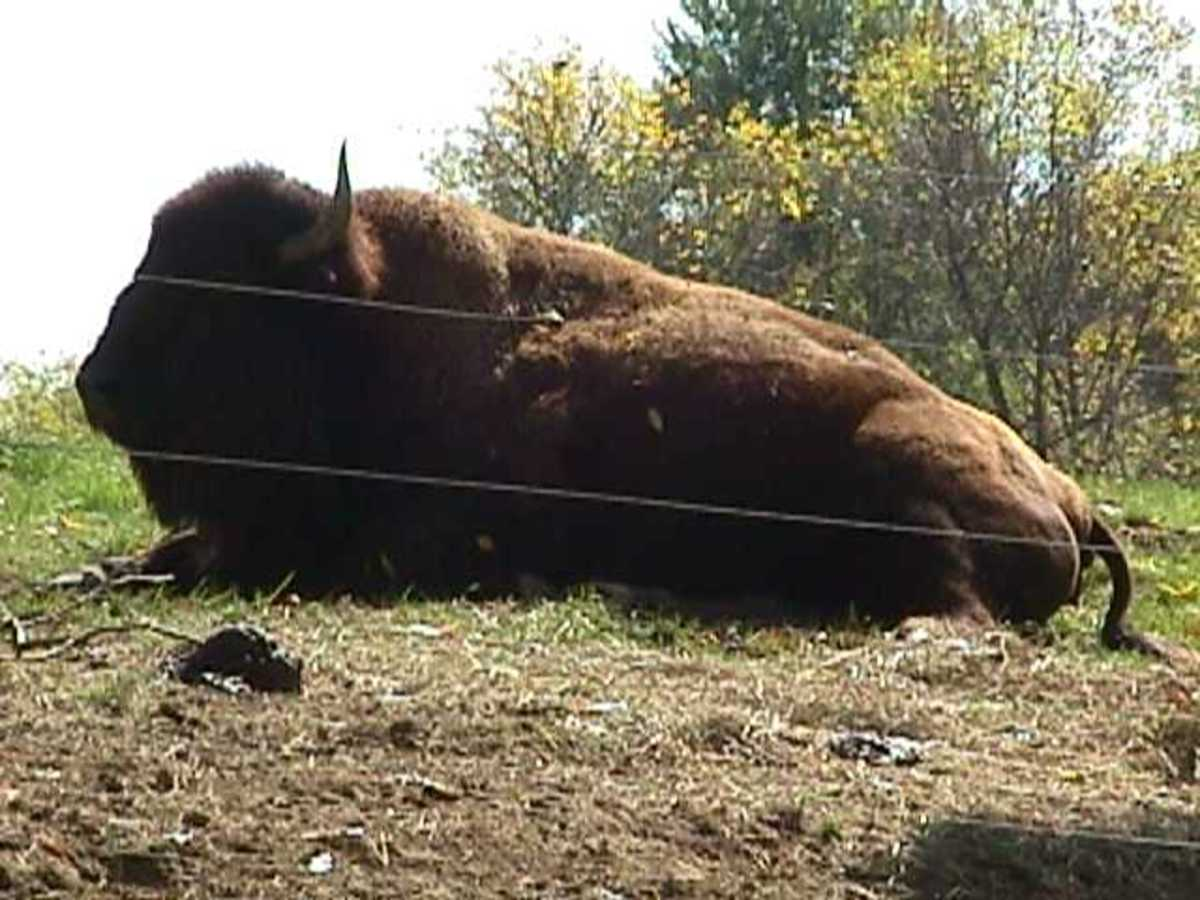 At the Columbus Zoo and Aquarium. At one time, American Bison ran free on the grounds of Annheuser Busch on Rt. 161.