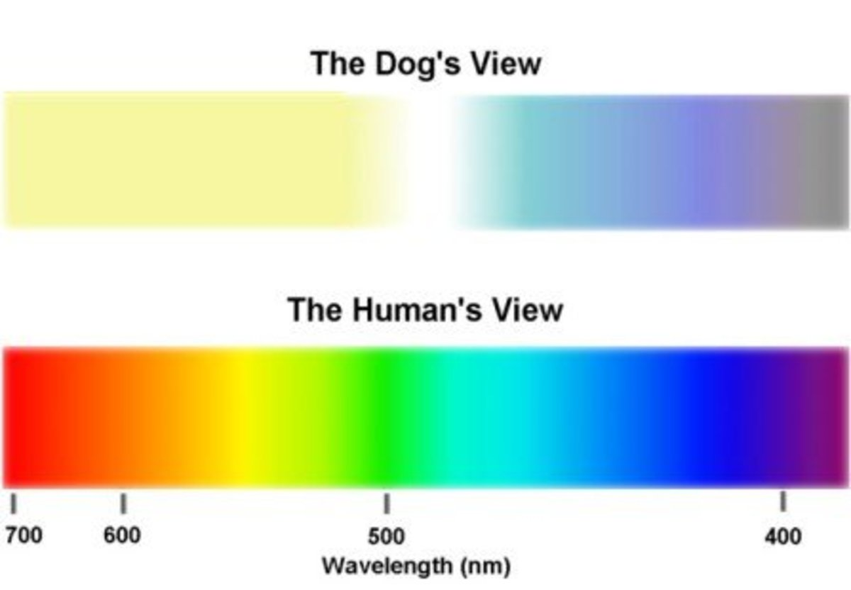 See how the color spectrum is so different between dogs and humans? We have a much more colorful world, but miss out on the scent and proprioceptive skills that dogs are gifted with innately