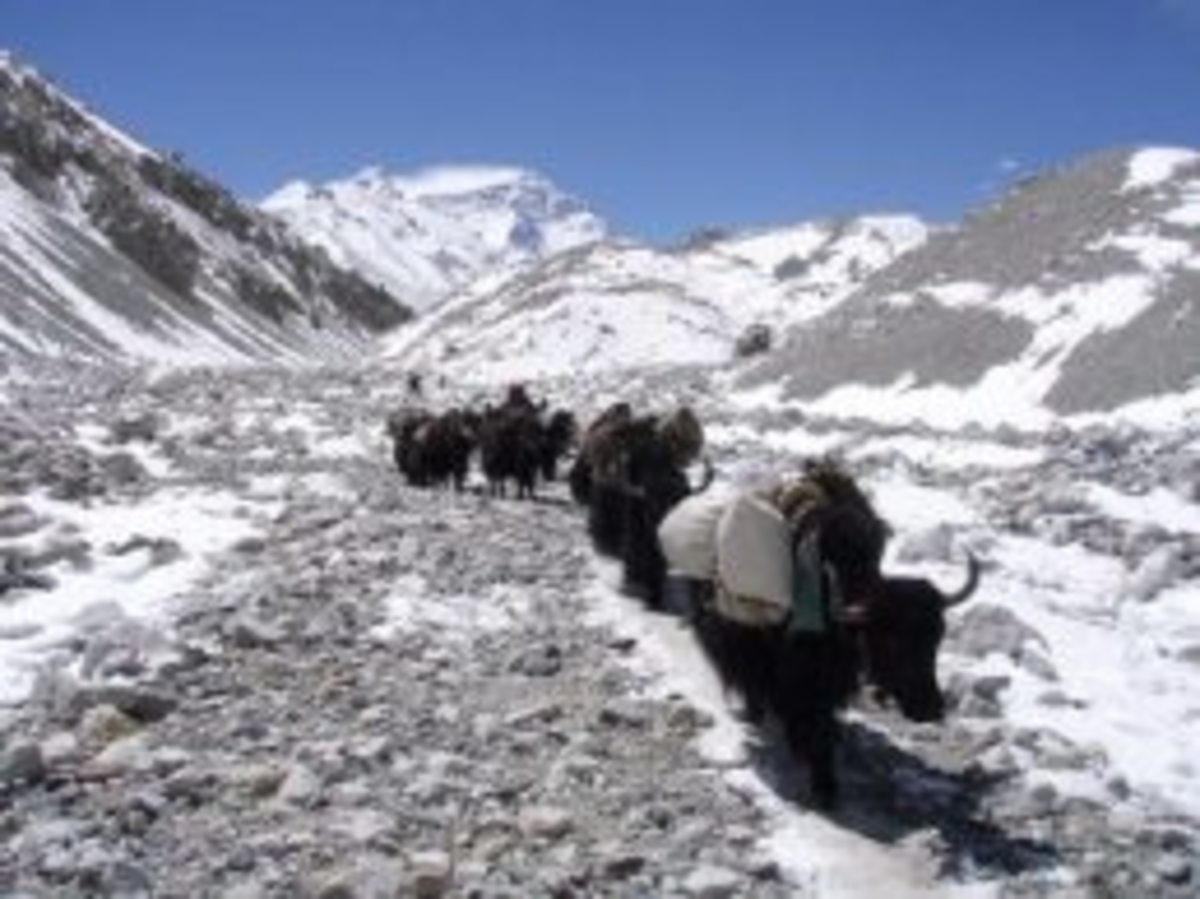 yaks on the mountain