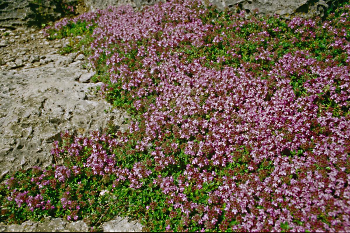 Thymus serpyllum - the Creeping Thyme