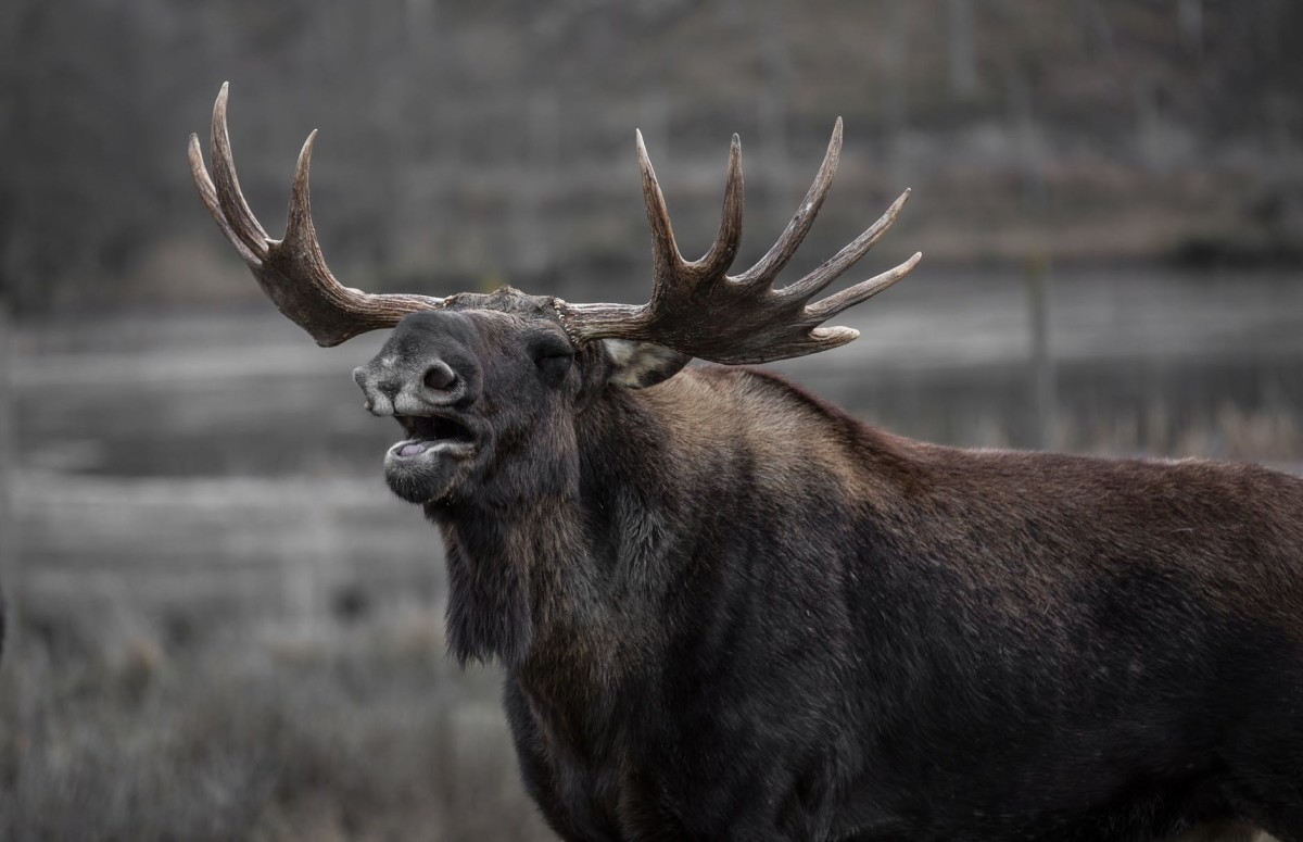 This bull moose is saying hello to you.