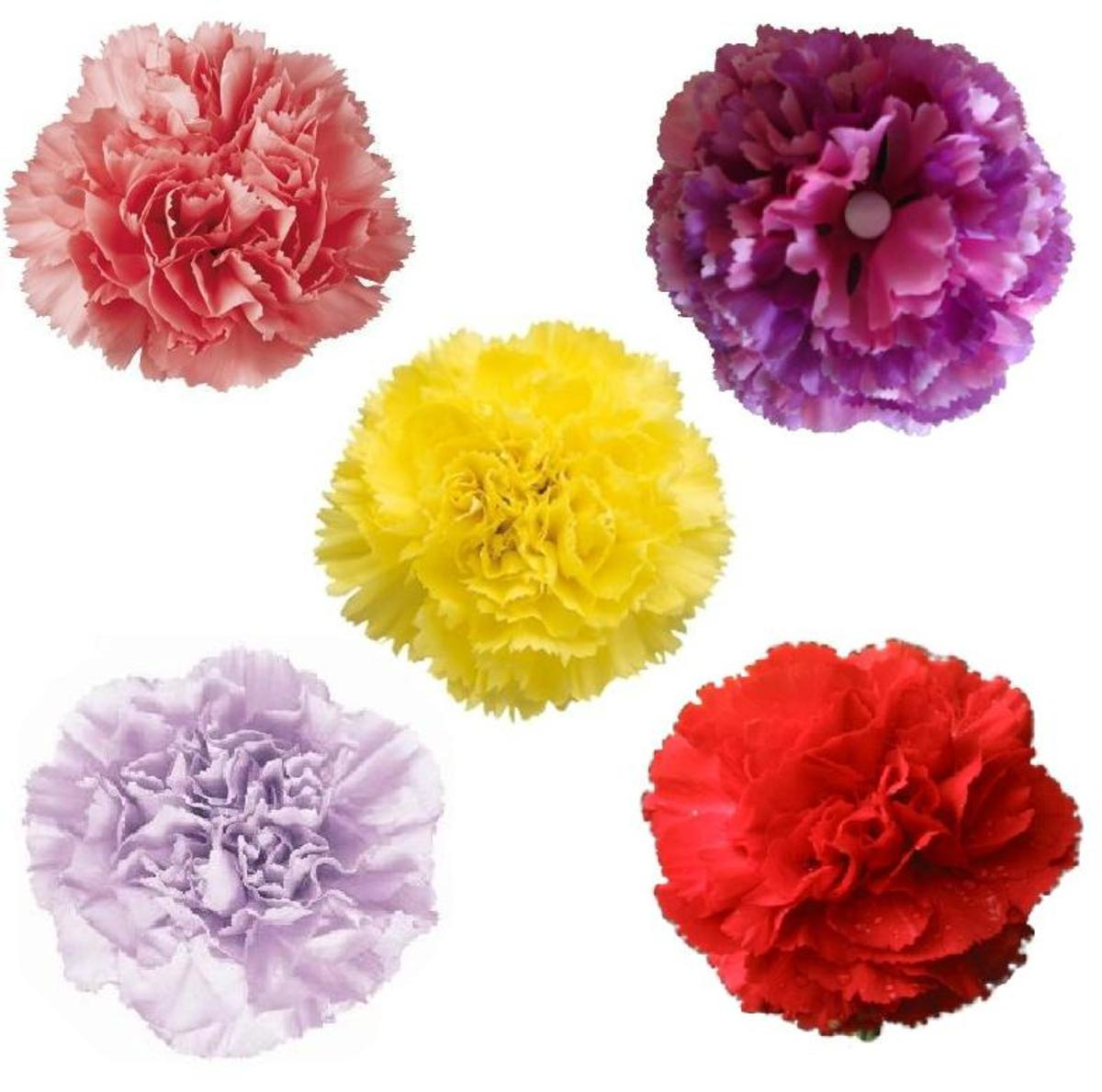 carnation flower facts and meaning hubpages - Carnation Flower Colors