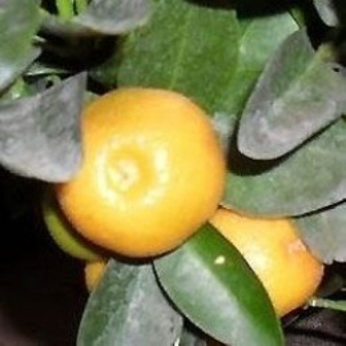 Calamondin Recipes - the sour orange in cooking