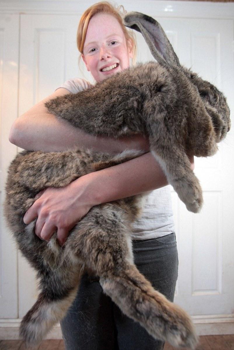 Ralph the giant rabbit
