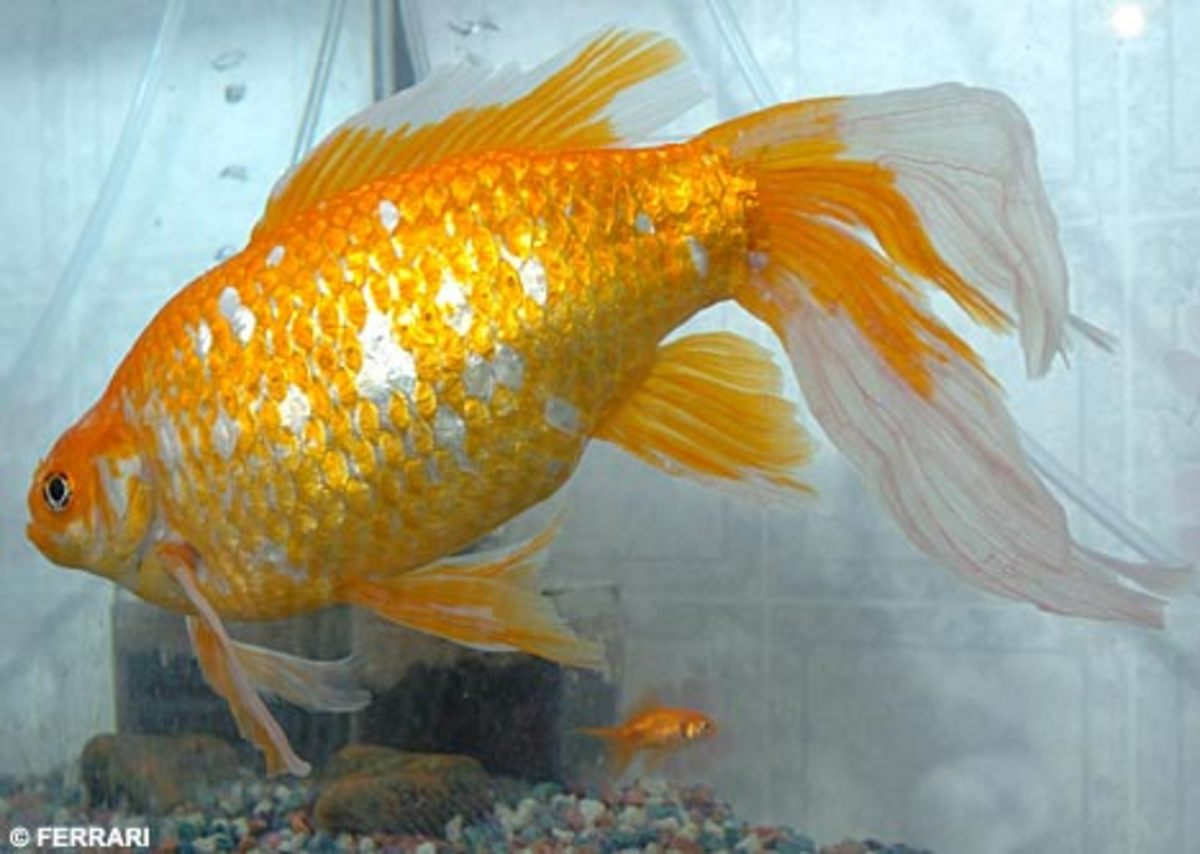 Goldie the huge goldfish