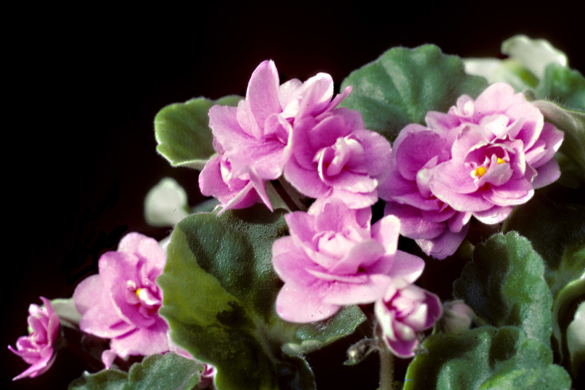 A close relative of Streptocarpus is the African Violet - Saintpaulia - one of the most popular of all small pot plants, and very easy to grow