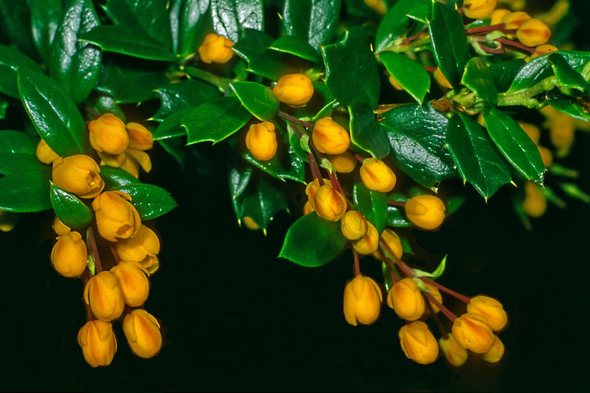 Berberis darwinii, a small evergreen shrub, native to Chile and Argentina