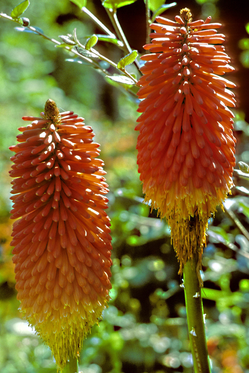 The Red Hot Poker or Knipfofia hails from Africa, but is very hardy in temperate zones