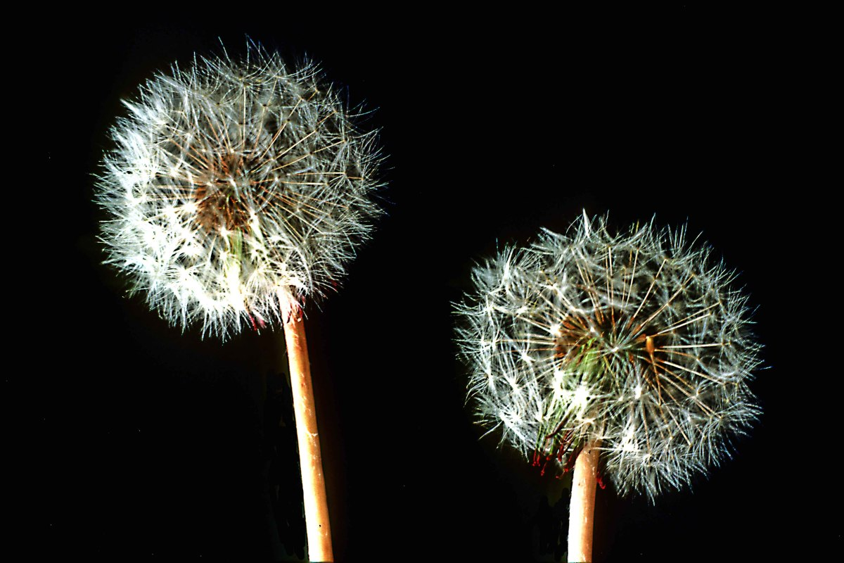 Any subject from the world of flora can make a good subject. In this case the delicate and intricate seed heads of the common Dandelion, generally thought of as a weed