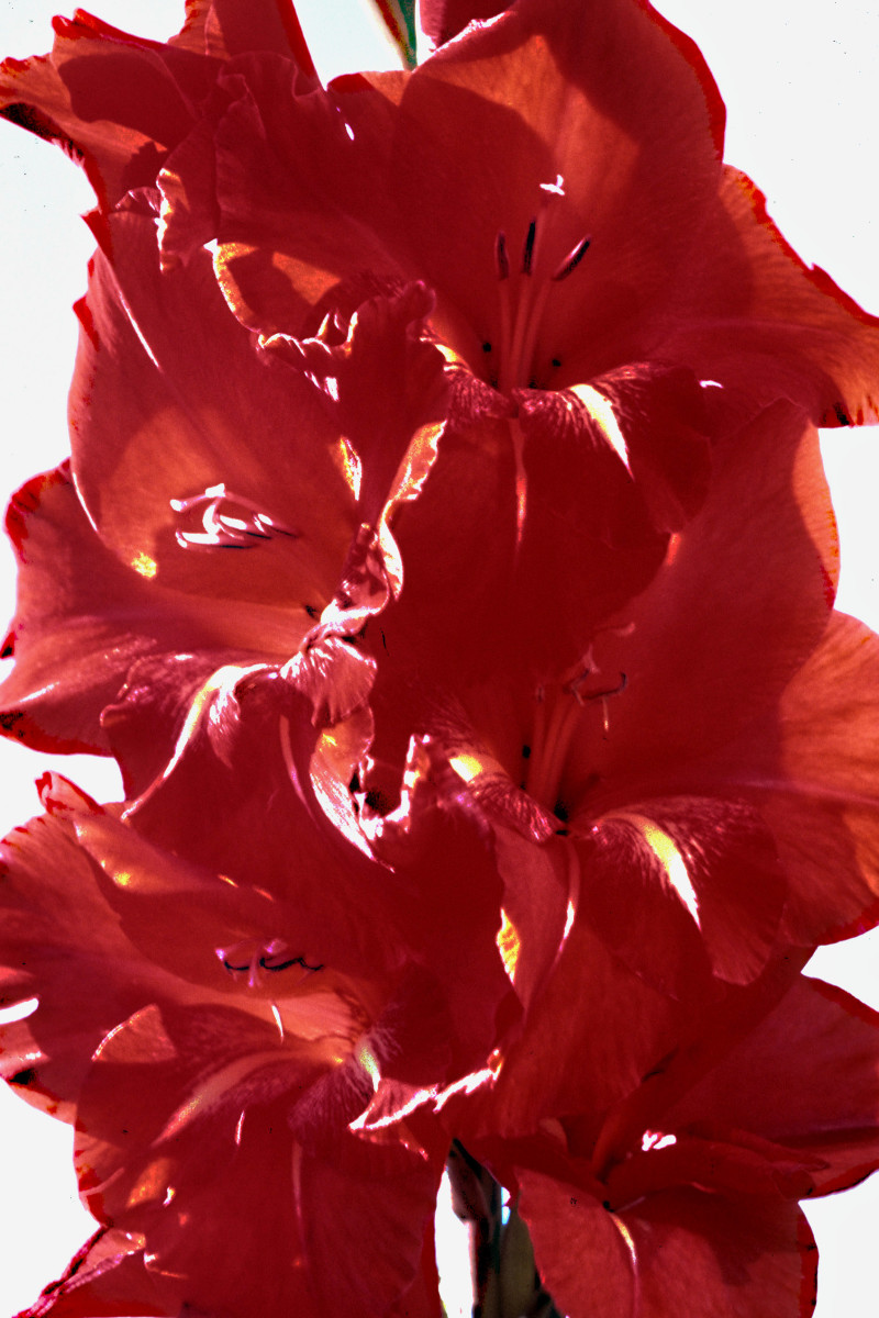 The flower stem of a Gladiolus is best imaged in a vertical format such as this