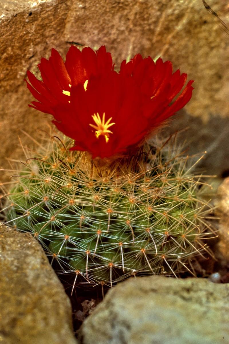 Parodia sanguinifolia, nestled among some rocks which hide the unnatural surroundings