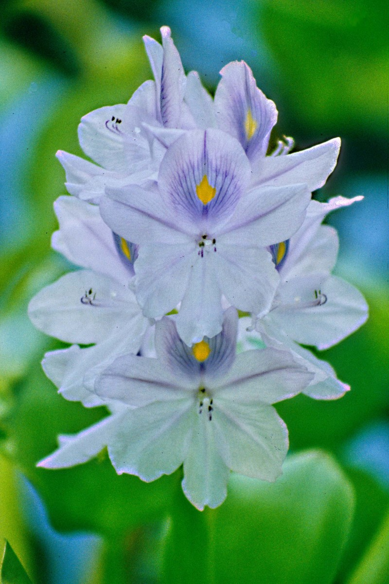 The Water Hyacinth, with leaves and water thrown out of focus to emphasise the flowers