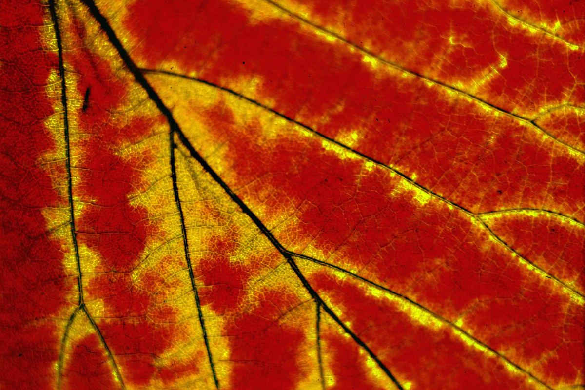 Close-up of an autumn leaf, backlit to really intensify the colours