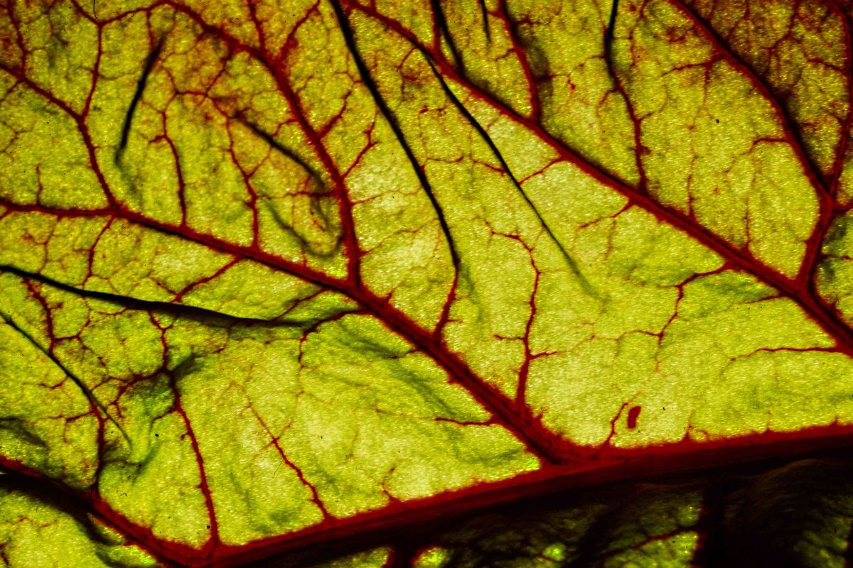 This is a leaf of beetroot, again lit from behind. The veins of this leaf really are a bright red