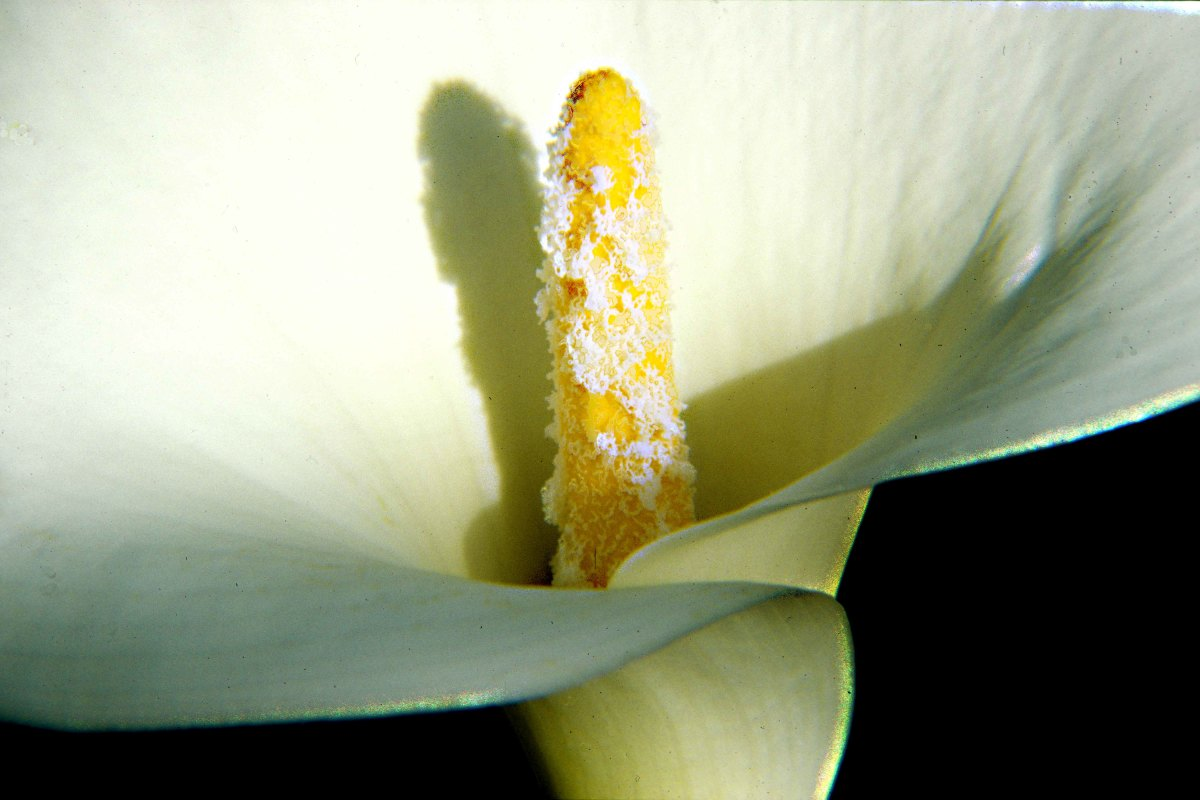 The White Arum Lily