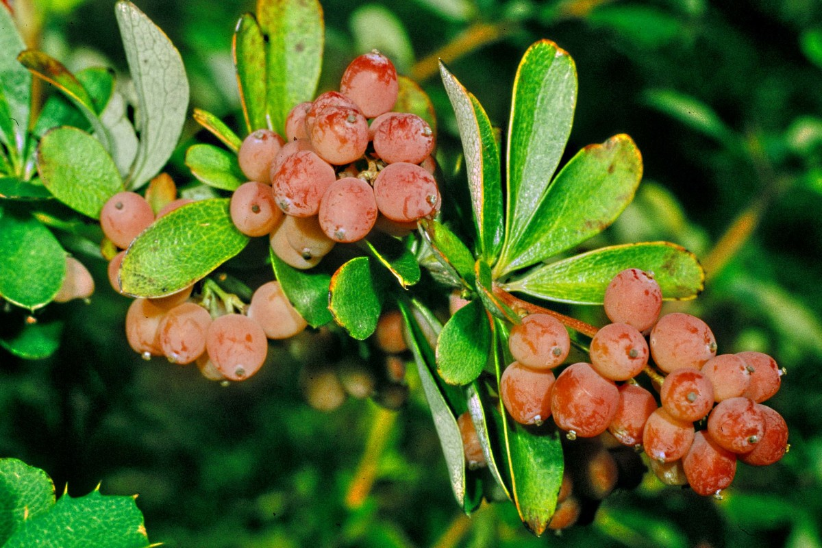 Berries are often brightly coloured, and make  good subjects for photography