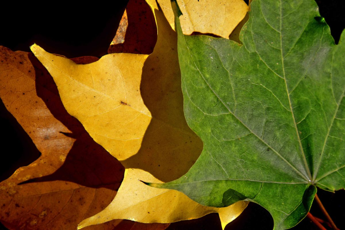 Three leaves showing the three main colour transitions of the autumn foliage