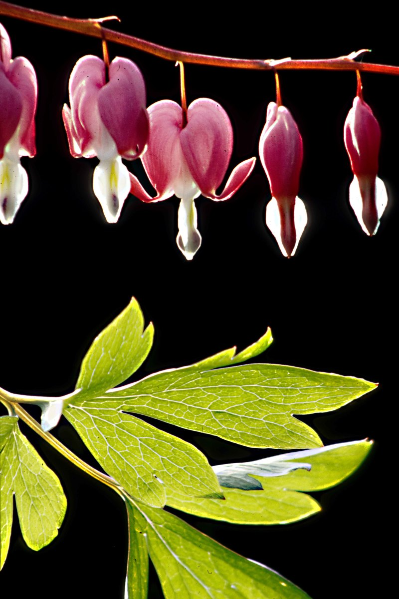 A study of Dicentra spectabilis, the Bleeding Heart, in which the plant has been arranged to show both leaves and flowers