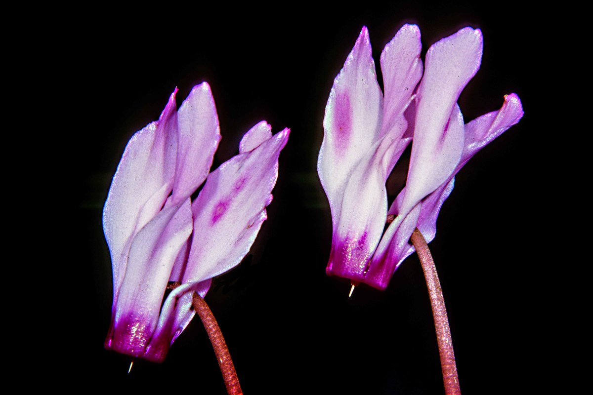 Cyclamen flowers are among the most distinctive of all the plants which can be kept in the house, albeit preferring a cool position