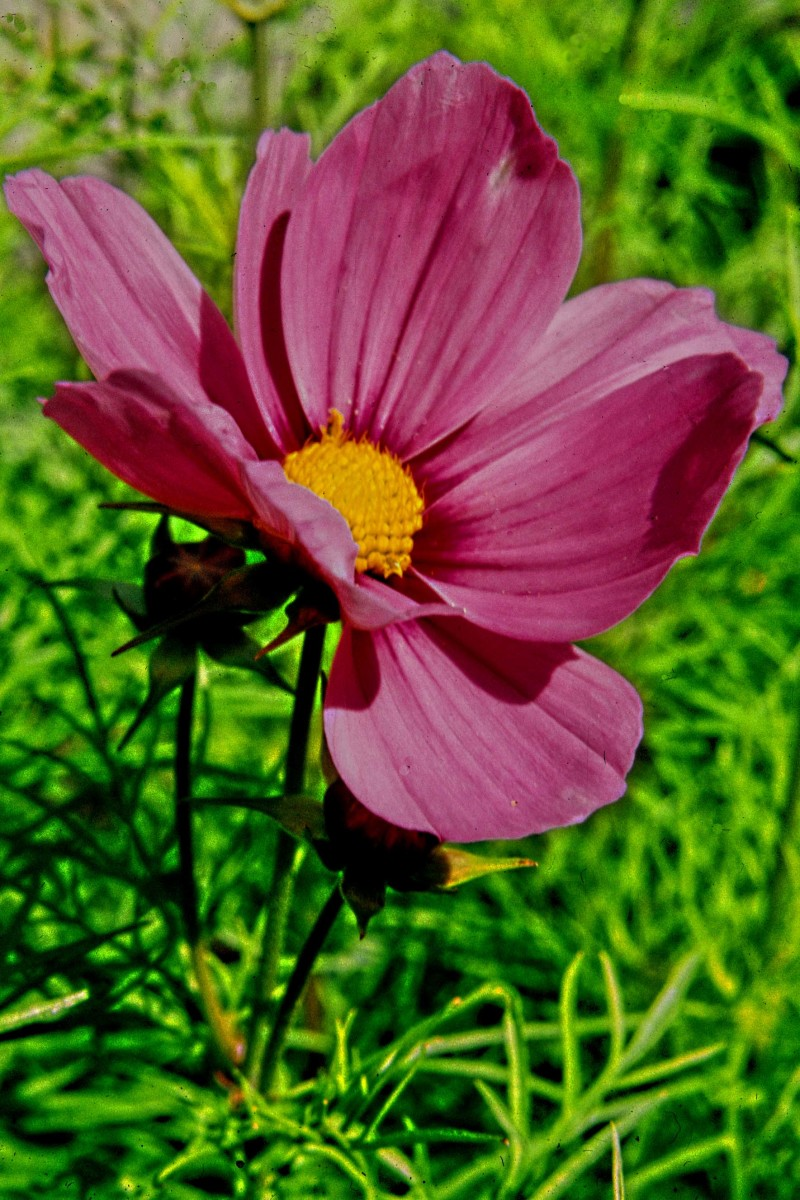 This is Cosmos, a small herbaceous perennial  and popular bedding plant, grown both for its attractive flowers and its feathery leaves