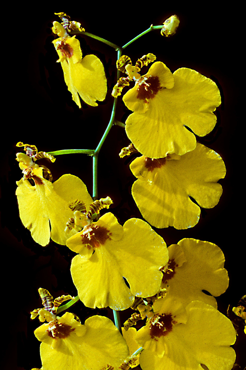 Bright yellow Oncidium Orchid stem photographed aginst my favourite backdrop.