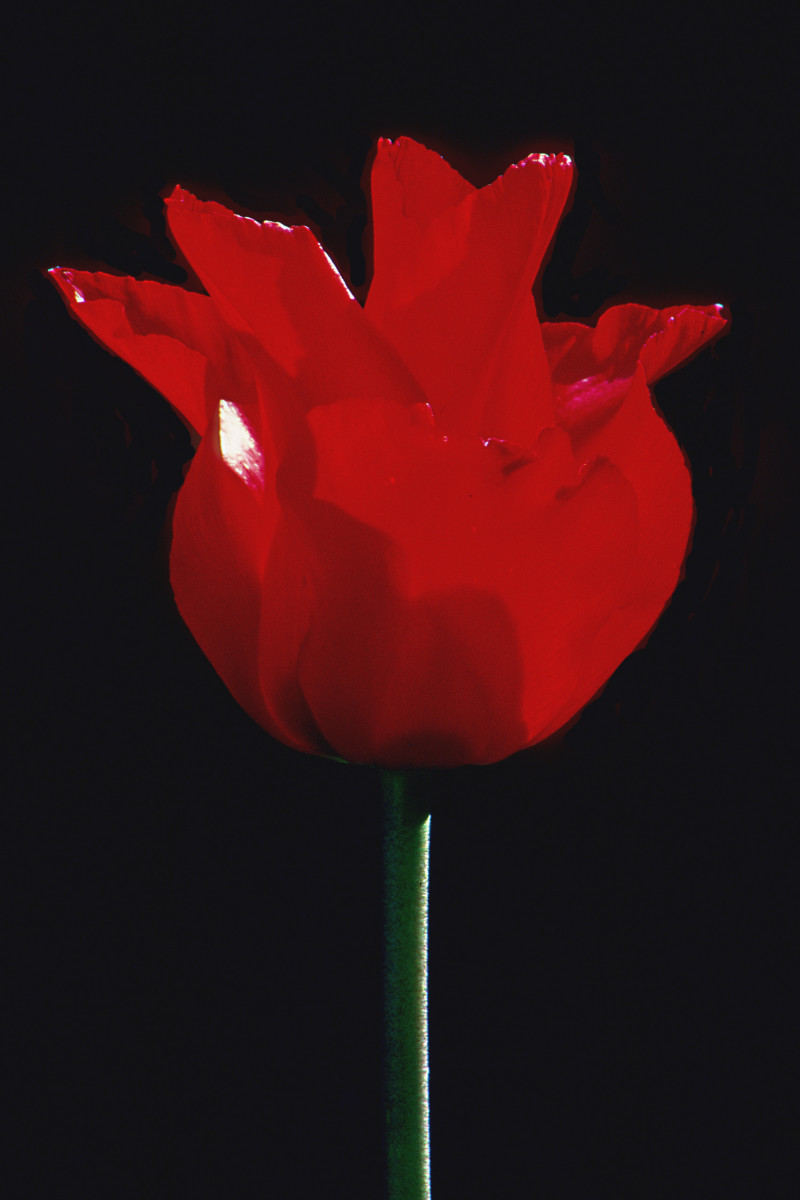 A backlit blood red Tulip contrasts very powerfully with a black background