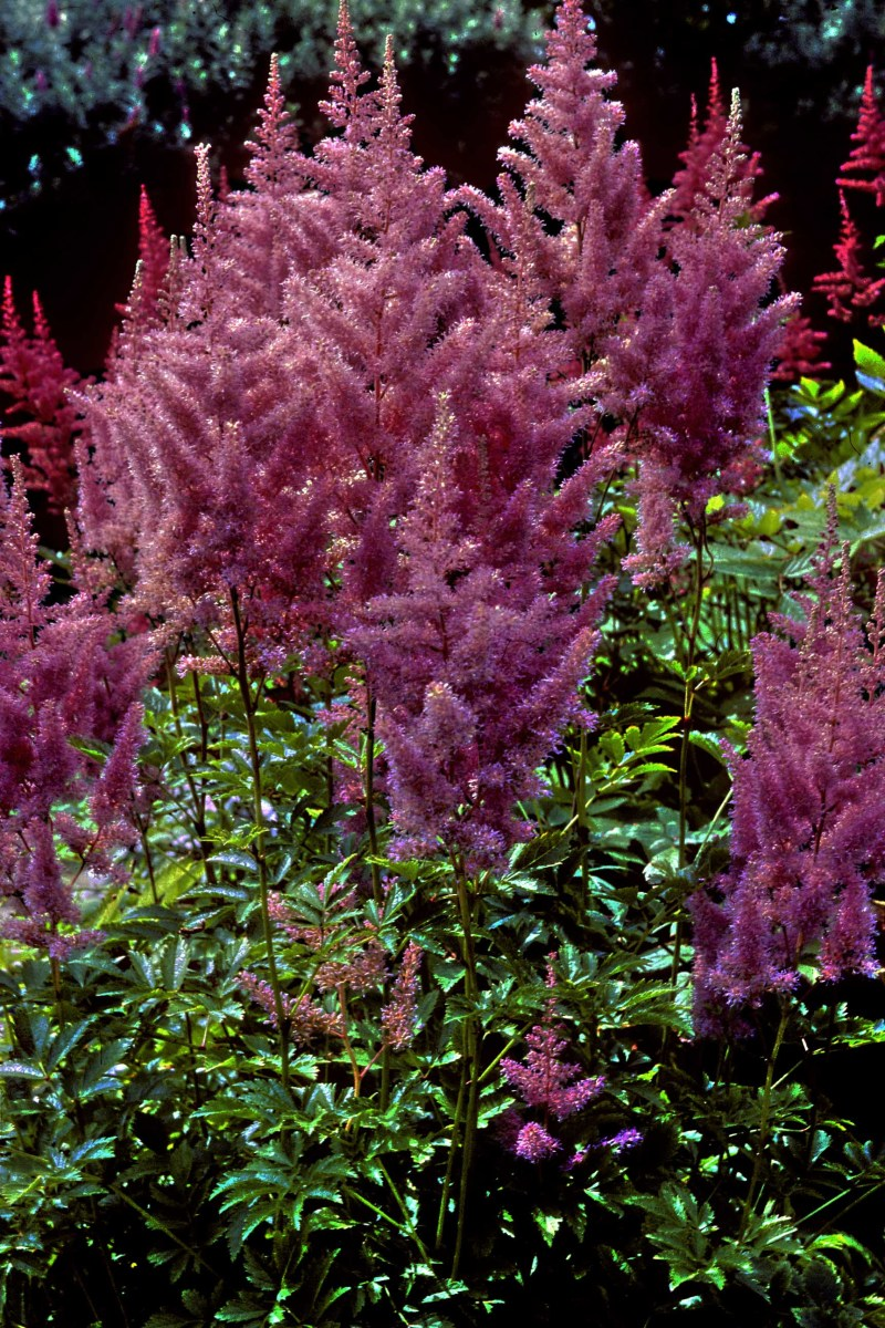 One of the many varieties of Astilbe, a popular border plant which grows 2 ft high with red, pink or white feathery plumes of flowers