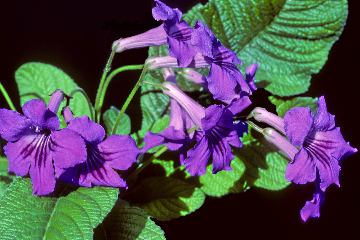This is the Streptocarpus or Cape Primrose, a popular flowering pot plant which today is available in a range of colours