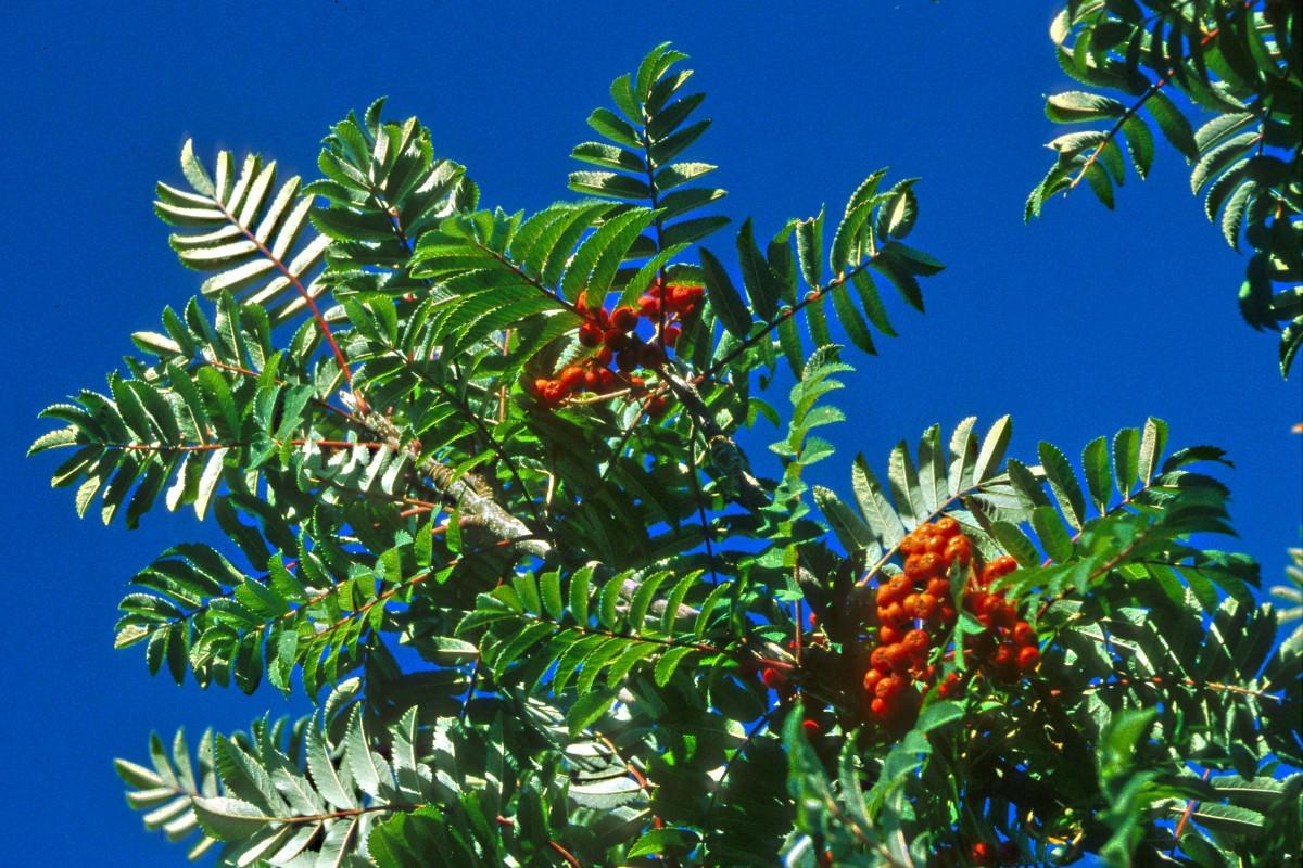 Sorbus decora (Showy Mountain Ash) imaged at the Cambridge Botanical Gardens