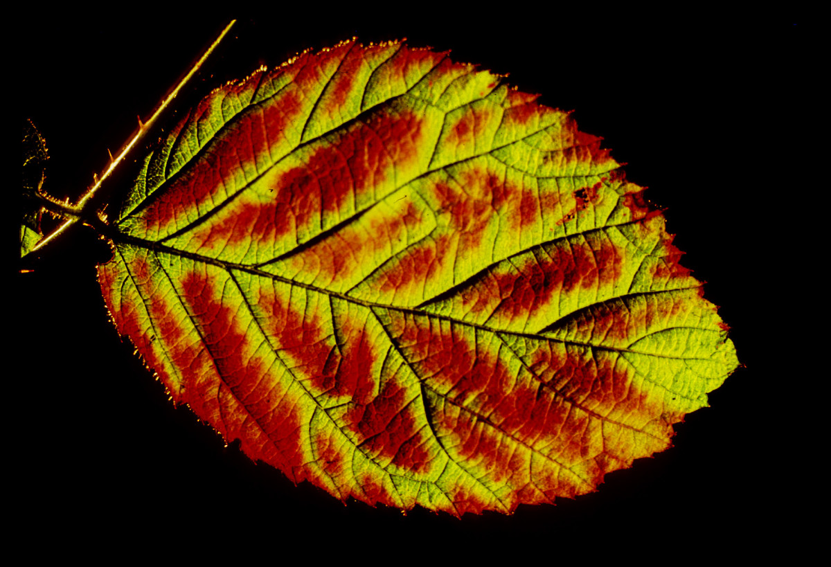 A bramble (blackberry) leaf, lit from behind shows off the autumn colours beautifully