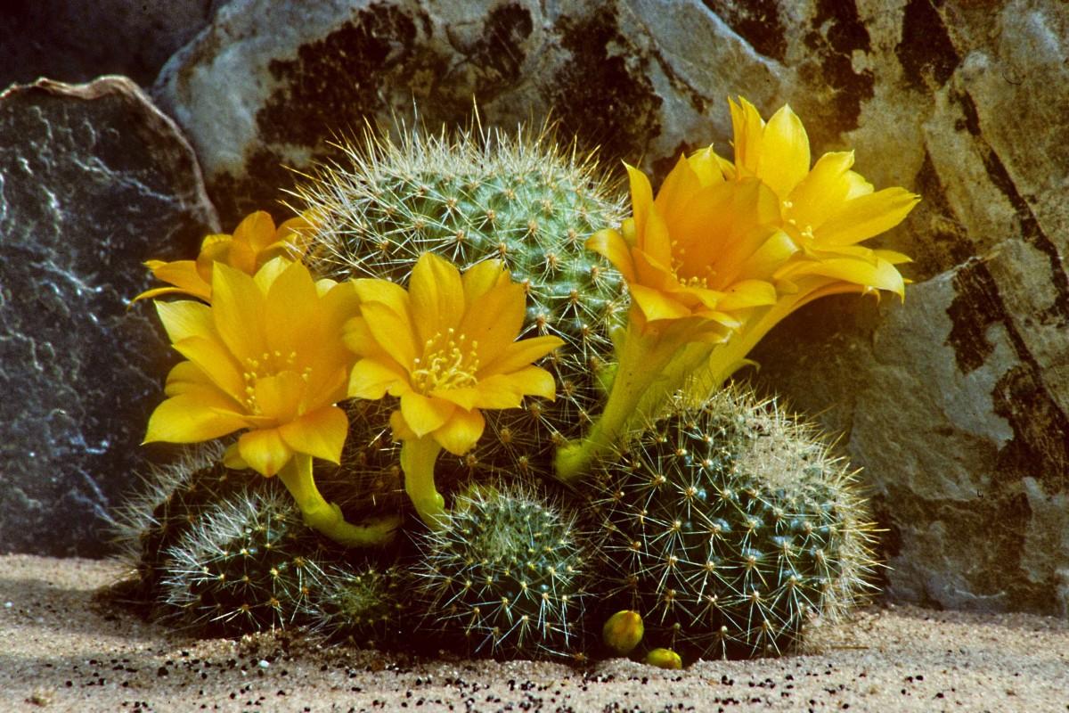 One of the most free-flowering cacti. This is called Rebutia senilis kesselringiana