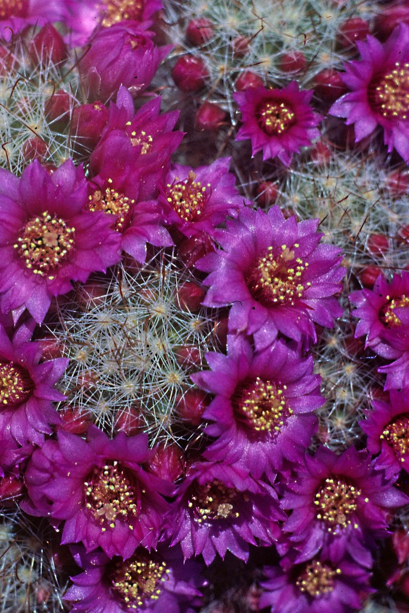 Mammilaria zeilmanniana is one of the most popular of cacti, and very free-flowering