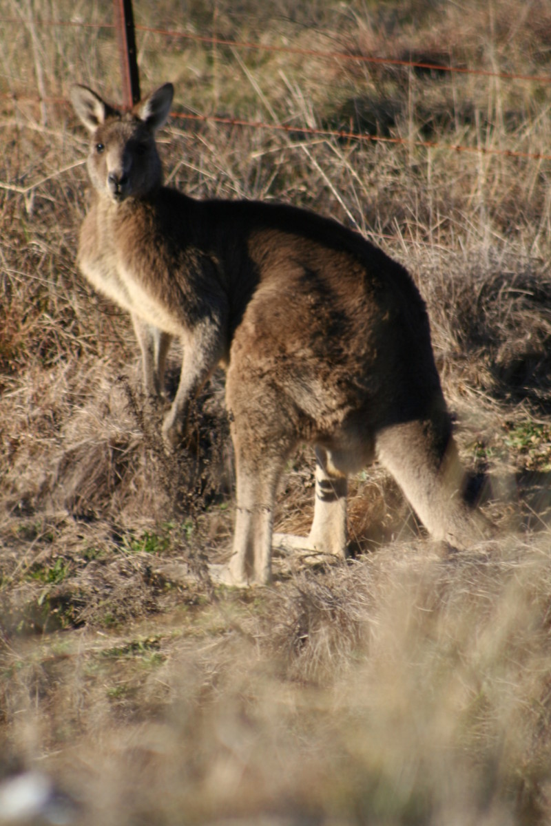My Australian kangaroo pictures - with joeys in pouches