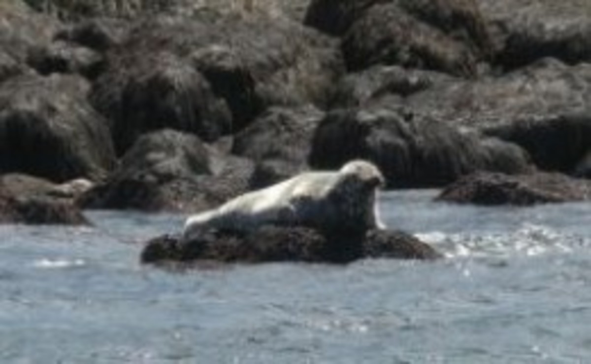 Grey Seal Bay of Fundy Nova Scotia