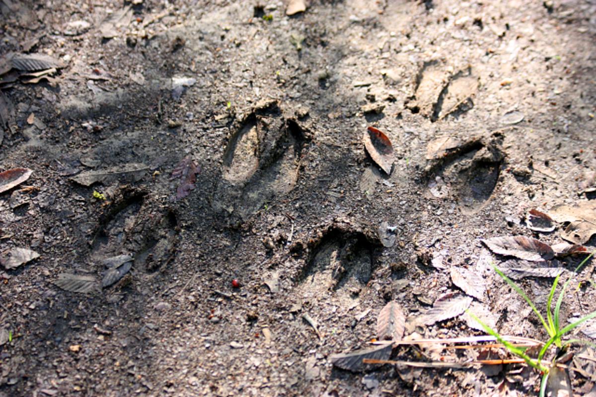 Deer tracks along the trail.