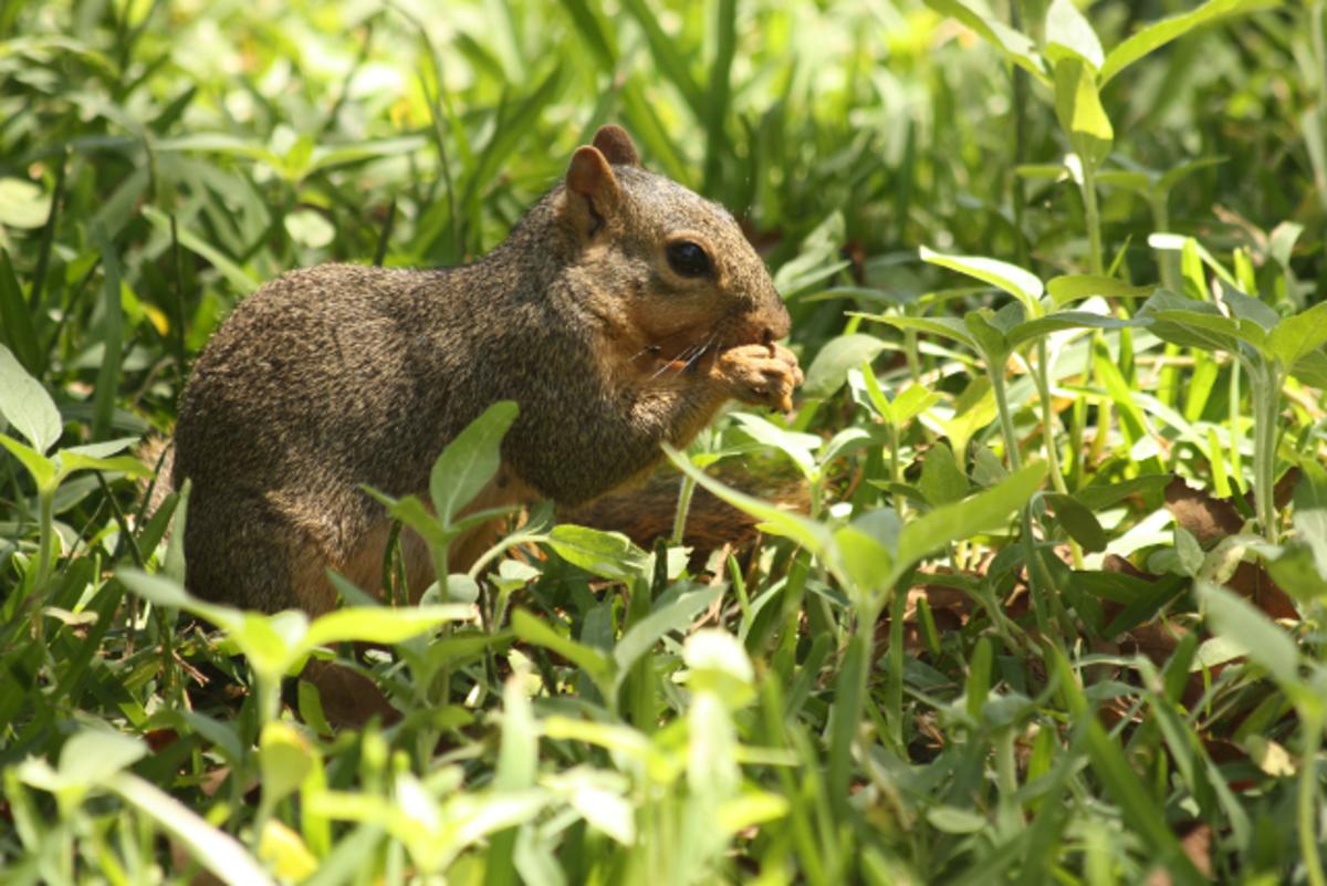 Fox Tail Squirrel Eating Sunflower Seeds Beneath my Bird Feeder, Taken Through Window