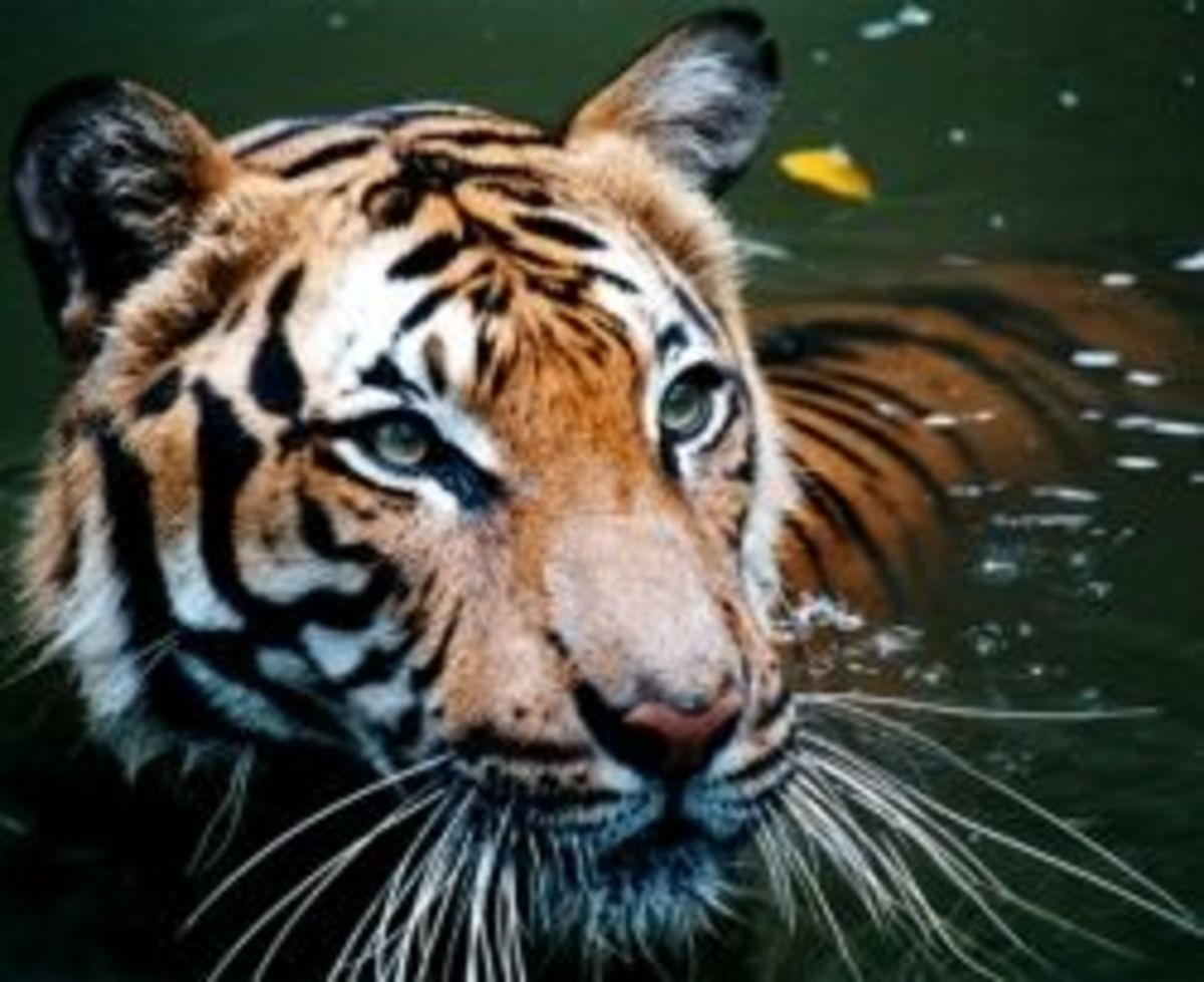 Big Cats Facts and Gifts