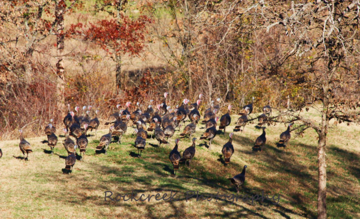 Rafter of Turkey Running Across my Pond Dam