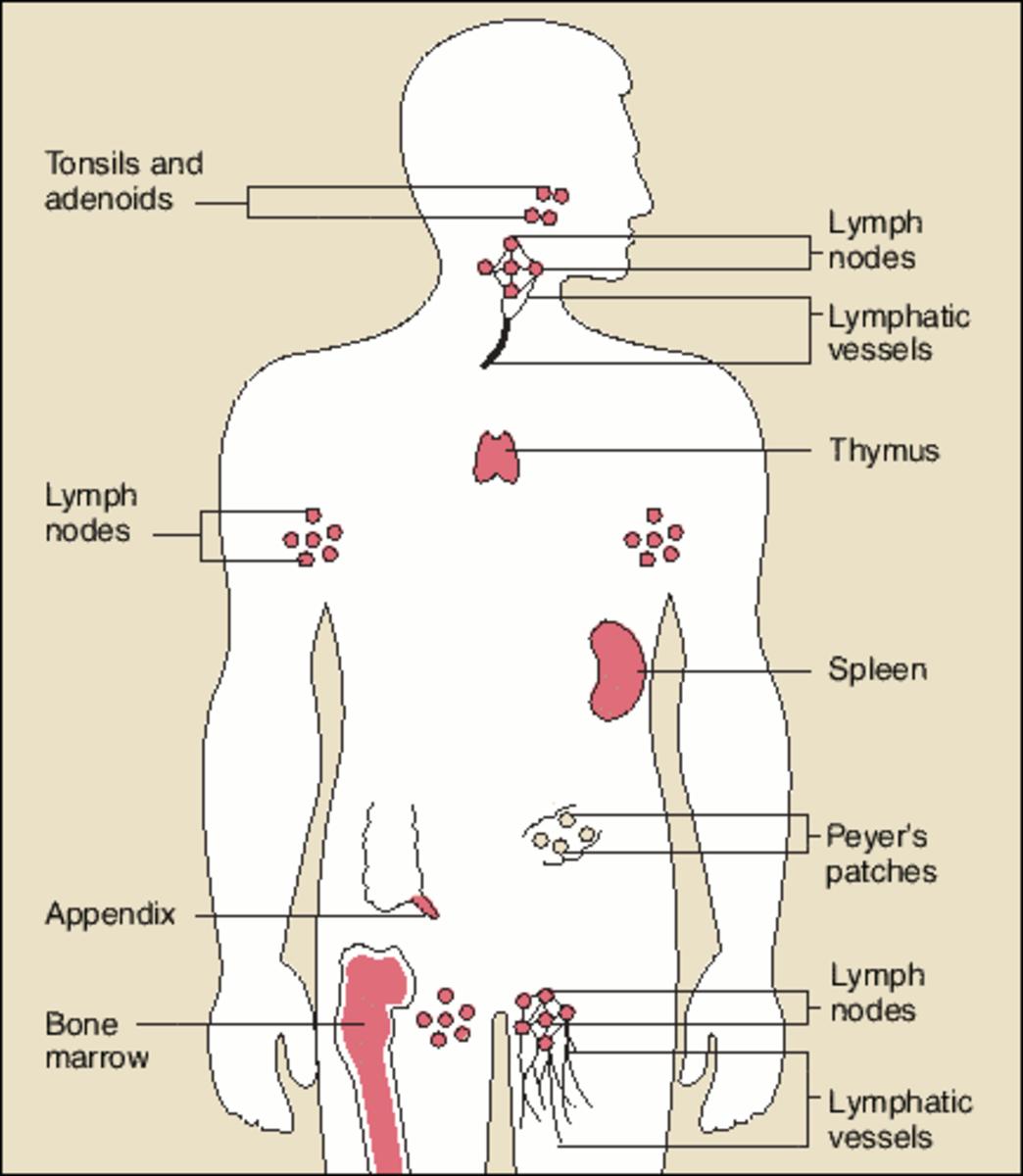 Key To Immune System Health