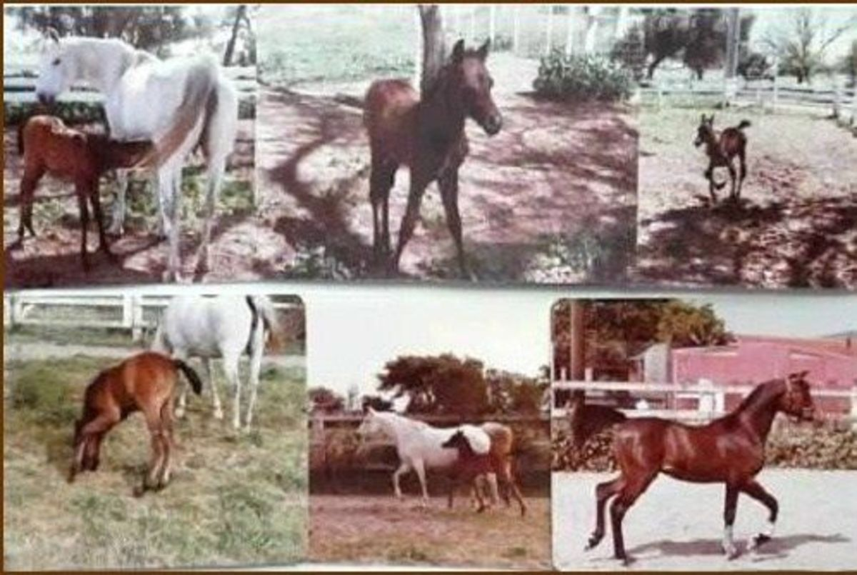 Ibn as a foal