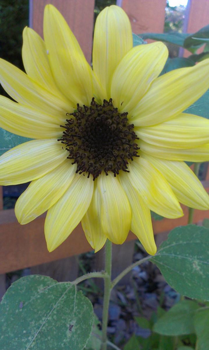 """Sunflower """"Lemonade"""""""