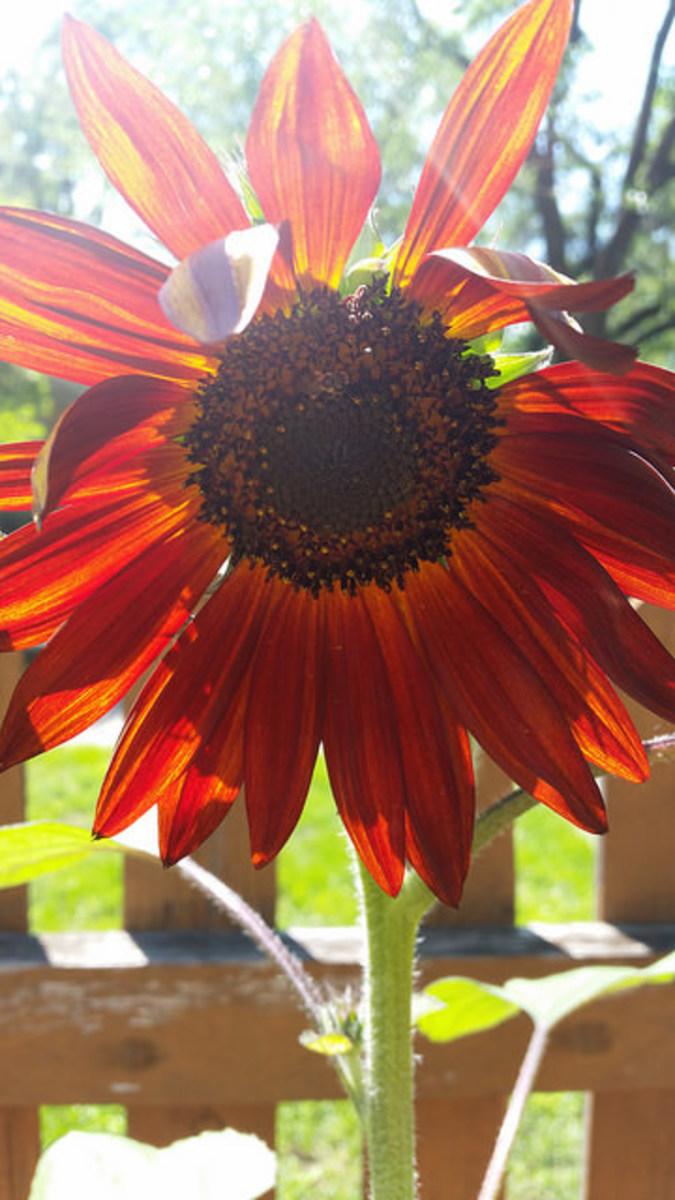 """Sunflower """"Velvet Queen"""""""