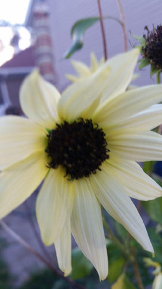 "Sunflower ""Sun Drop"""