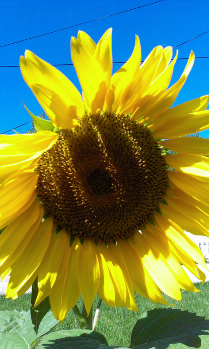 "Sunflower ""Mammoth"""
