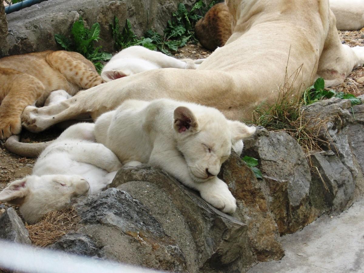 Sleeping baby lions