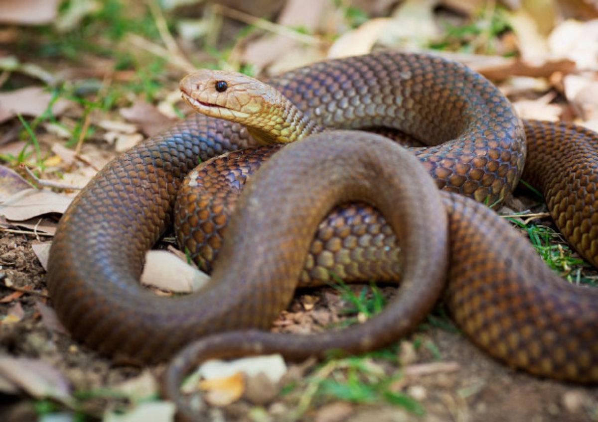 The King Brown snake (Mulga snake)