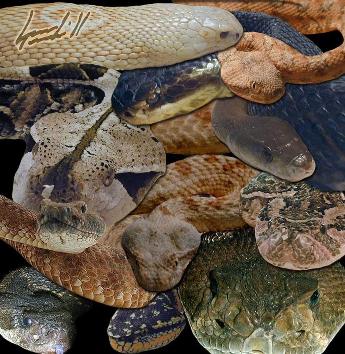 A collage of venomous snakes *copyright venomousreptiles.org